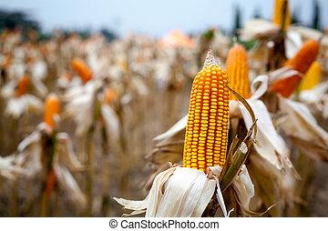 consumo, milho, fábrica, logo, pronto, colheita