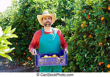 contadino, uomo, raccolta, arance, in, un, arancio