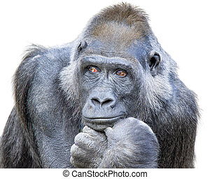 Contemplative Gorilla - Adult gorilla, seemingly in deep ...