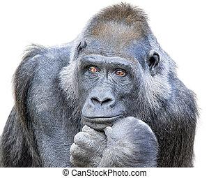 Contemplative Gorilla - Adult gorilla, seemingly in deep ...