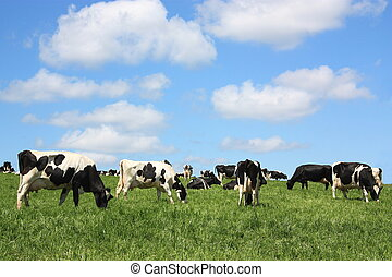 Contented dairy cows - A herd of black and white Holstein...