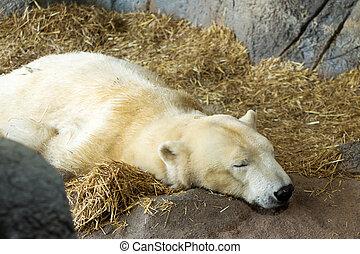 contenu, ours blanc, dormir