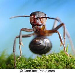 contes, formica, rufa, fourmi, forêt, voleur