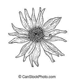 contorno, flower., drawing., aislado, ilustración, fondo.,...