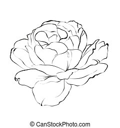 Contour of rose. - Contour of rose isolated over white....