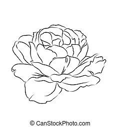 Contour of rose.