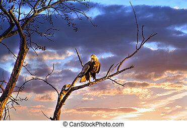 contra, perched, calvo, ramo, céu, majestoso, pôr do sol, sol, bonito, águia, árvore