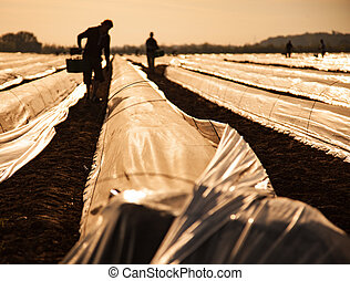 Contract workers on asparagus field