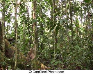 contraforte, raizes, de, um, grande, floresta tropical,...