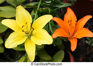 Contrasting Lillies - Yellow and orange lillies