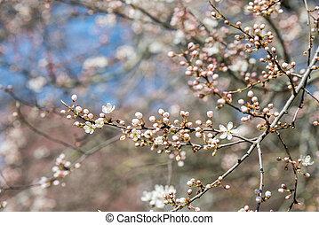 contre, arbre, fleurs, ciel bleu, fleur, cerise, blanc