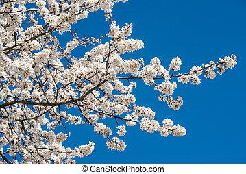 contre, ciel, fleurs, fleur, bleu, arbre, pomme, blanc