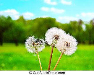 contre, clairière, pissenlits, ciel, solaire, vert, pelucheux, blanc