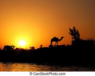 contre, coucher soleil, nil, chameau, silhouette
