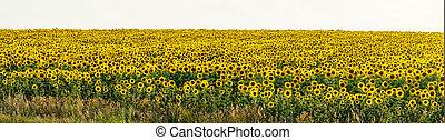 contre, panorama, ciel, champ jaune, tournesols, lumière, fleurs blanches