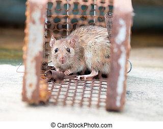 control., animal, chouchou, pas, avoir, mice., contagion, habitations, devez, cage, maladie, tel, a, plague., était, maisons, catching., humains, maladies, rat, leptospirosis, contagieux, empêcher