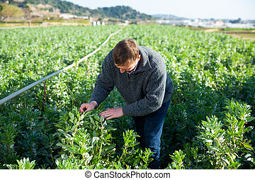 controleren, seedlings, bonen, fava, man, positief