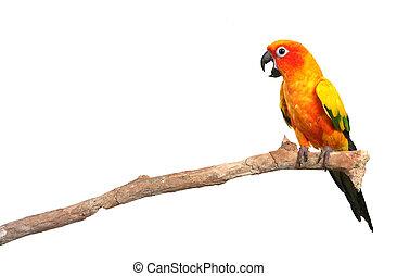 conure sol, papagaio, gritando, uma filial
