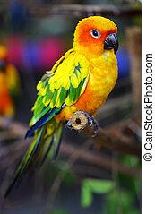 conure, sol, træ branch, papegøje