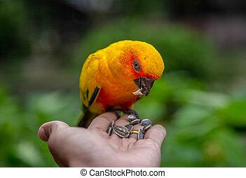 conure, soleil, perroquet, main