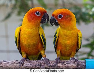 Conure  - Two Parrots Conure on perch