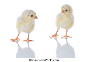 Conversation - Photo of two cute baby chicks, with...