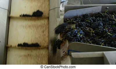 conveyor with red wine grape at wine factory, red wine production