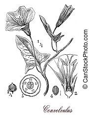 Convolvulus flowering plant, botanical vintage engraving