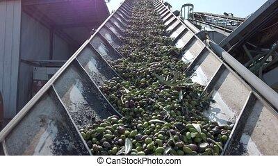 convoyeur, long, belts., frais, olives, transporté, ...