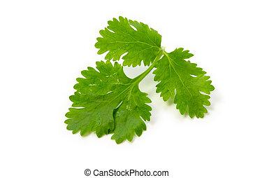 coriander - Cooking ingredient series coriander. for adv...