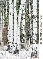 Cool and white Aspen trees against a pine forest in winter