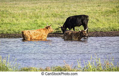 Cooling Off - Cows in the water