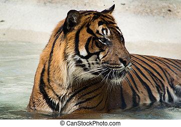 Tiger cooling off