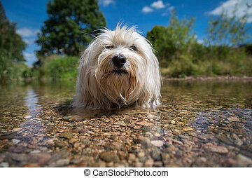 Cooling - A white Havanese makes room in the water and cools...