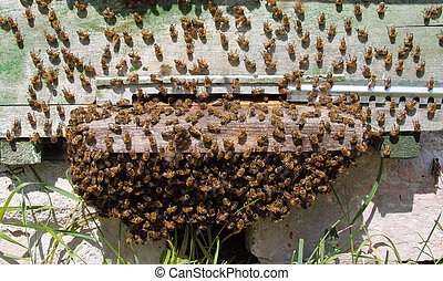 Cooling the hive - The bees came out of hive and formed a...
