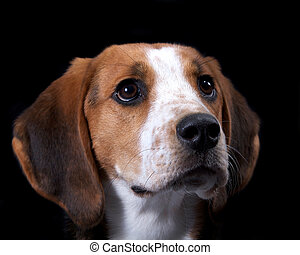 Amazing Detail of Coon Hound Face Isolated on Black