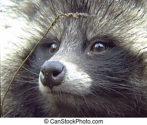 Coon pretty face closeup
