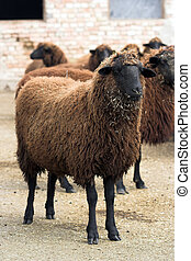 cooper-red sheep- animal indigenous to Bulgaria