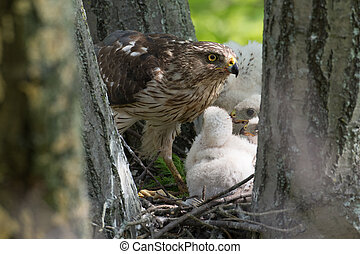 Cooper-s hawk feeding chicks - Adult cooper's hawk feeding...