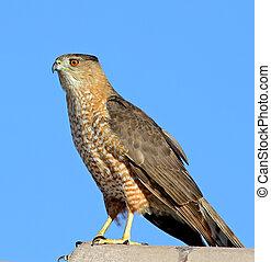 Coopers Hawk, adult 1
