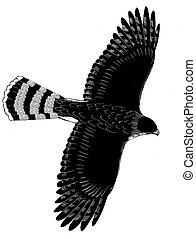 Coopers Hawk - Accipiter cooperii