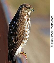 Cooper's Hawk juvenile - Cooper's Hawk (Accipiter cooperii)...