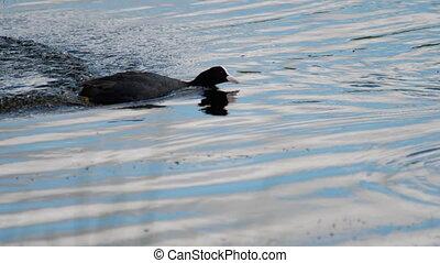 Coot attack mallard duck - Eurasian coot -Fulica Atra-...
