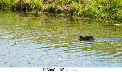 Coot attack mallard duck family - Eurasian coot -Fulica...