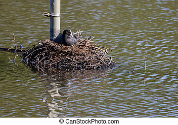 Coot on the nest at Earlswood Lake