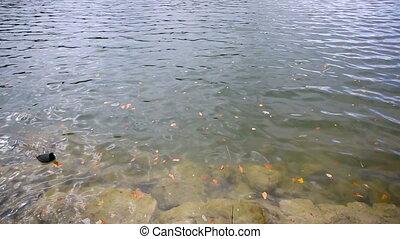 Coot swimming on autumnal lake
