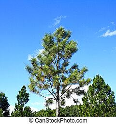 copa árvore