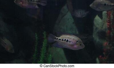 Copadichromis ilesi in beautifully decorated Marine Aquarium...