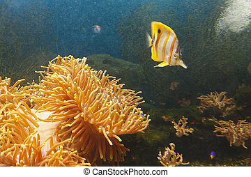Coperband butterfly (Chelmon rostratus) also known as Beaked butterflyfish, Beaked coralfish in water among coral reefs