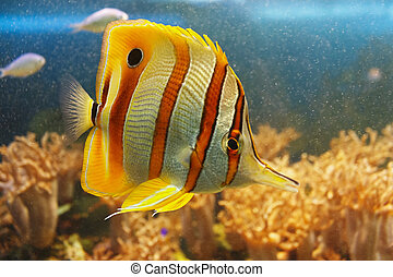 Coperband butterfly (Chelmon rostratus) also known as Beaked butterflyfish, Beaked coralfish or Orange stripe butterfly in their habitat